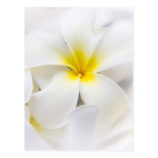 Flores florales del Plumeria del Frangipani blanco Tarjeta Postal