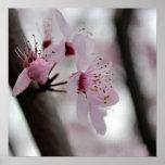 Flores hermosas de la flor de cerezo posters