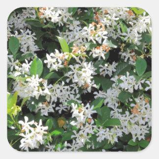 Flores hermosas del jazmín pegatina cuadradas