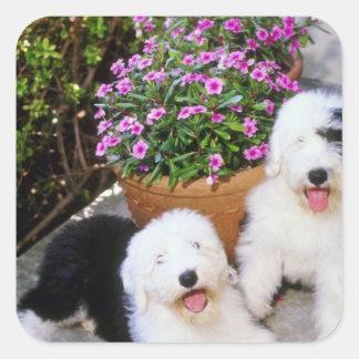 Flores inglesas viejas rosadas de los perros pegatina cuadrada