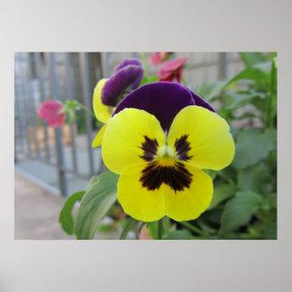 Flores púrpuras amarillas de los pensamientos póster