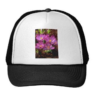 Flores púrpuras amarillas del azafrán gorro