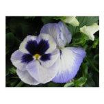 Flores púrpuras bonitas del pensamiento tarjetas postales