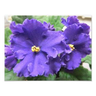 Flores púrpuras de la violeta africana fotografías