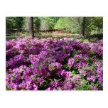 Flores púrpuras de las azaleas tarjeta postal
