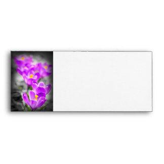 Flores púrpuras del azafrán sobre