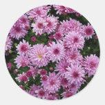 Flores púrpuras del crisantemo X Morifolium Etiqueta Redonda