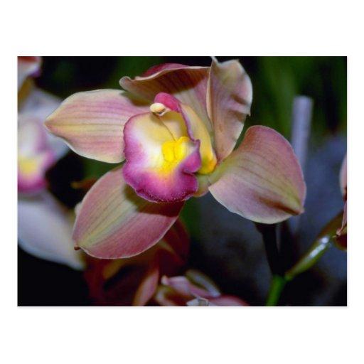 Flores púrpuras del Cymbidium Tarjetas Postales