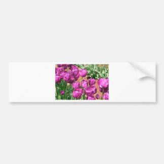 Flores púrpuras del tulipán en la floración 3 etiqueta de parachoque