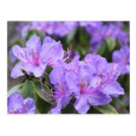 flores púrpuras elegantes de la azalea, 杜鹃花 tarjetas postales