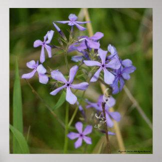 Flores púrpuras en la floración completa de la pri posters