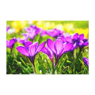Flores púrpuras hermosas del azafrán impresion de lienzo