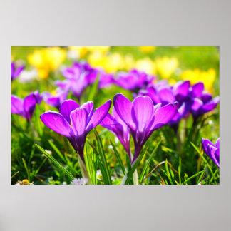 Flores púrpuras hermosas del azafrán póster