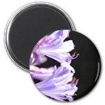Flores púrpuras suaves del Agapanthus - lirio del  Imán