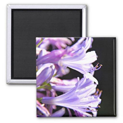 Flores púrpuras suaves del Agapanthus - lirio del  Imán De Frigorifico