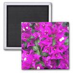 Flores púrpuras vibrantes del Bougainvillea Imanes Para Frigoríficos