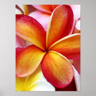 Flores rojas amarillas de Hawaii del Frangipani de Impresiones