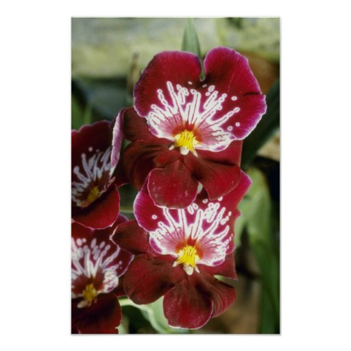 "Flores rojas de Celle ""Wasserfall"" (Miltonia) Posters"