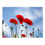 Flores rojas de la amapola postales