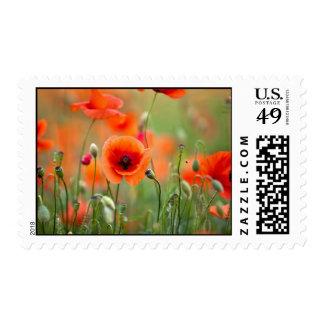 Flores rojas de la amapola sello