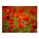 Flores rojas de la amapola tarjeta postal