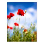 Flores rojas de la amapola tarjetas postales