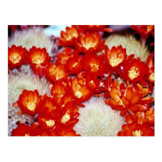 Flores rojas de la bola del escarlata del cactus tarjeta postal