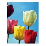 Flores rojas de los tulipanes de Darwin Postal