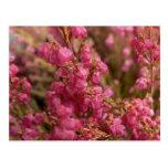 Flores rojas del brezo postal