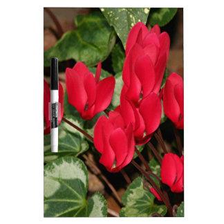 Flores rojas del Cyclamen en la floración Tableros Blancos
