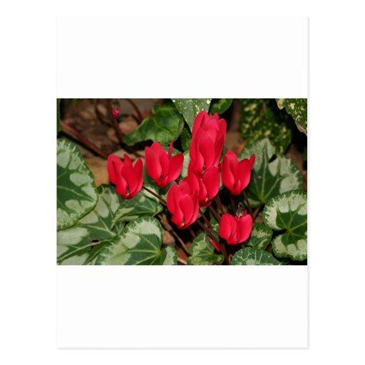 Flores rojas del Cyclamen en la floración Postales