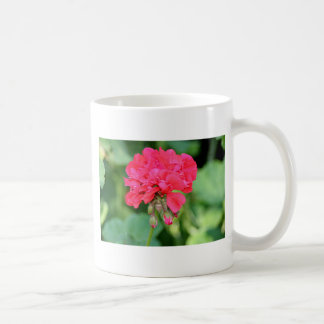 Flores rojas del geranio en la floración 2 tazas de café