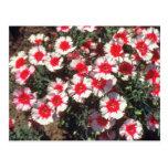 Flores rojas del rosa de China (clavel Chinensis) Postales