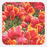 Flores rojas del tulipán en la floración 2 calcomanias cuadradas