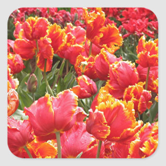 Flores rojas del tulipán en la floración 2 pegatina cuadrada