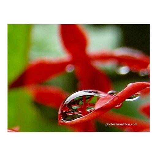 Flores rojas en una gota de agua postal