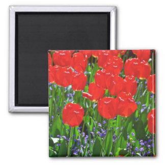 Flores rojas translúcidas de los tulipanes iman de nevera