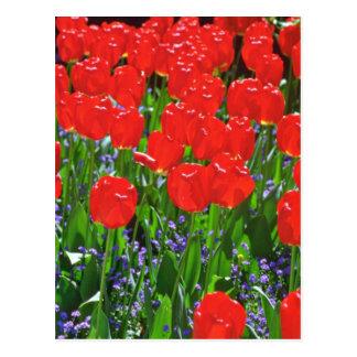 Flores rojas translúcidas de los tulipanes tarjetas postales
