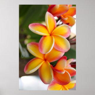 Flores rojas y amarillas 2 del Plumeria Poster