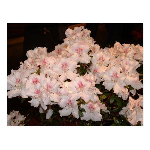 Flores rosadas, Azalias Postal