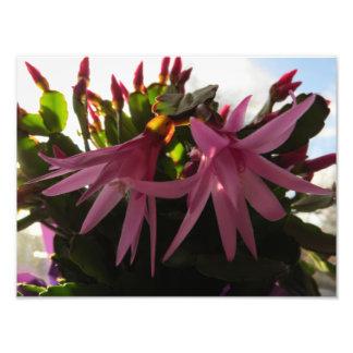 Flores rosadas bonitas del cactus de pascua cojinete