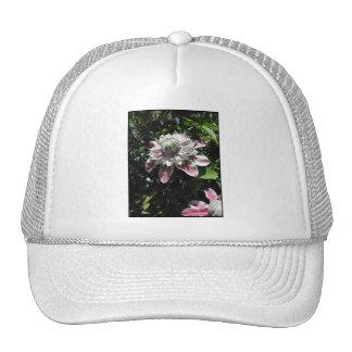 Flores rosadas. Clematis. Diseño elegante Gorras