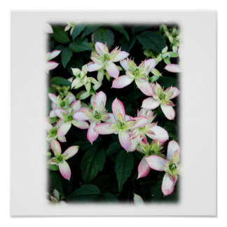 Flores rosadas. Clematis. En blanco Poster