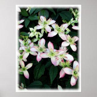 Flores rosadas. Clematis. En blanco Posters