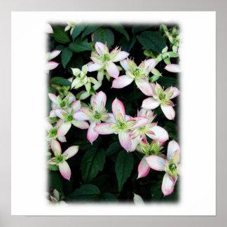 Flores rosadas. Clematis. En blanco Impresiones