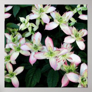Flores rosadas. Clematis. Posters