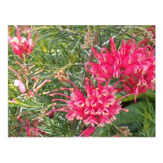 Flores rosadas de Grevillea Postal