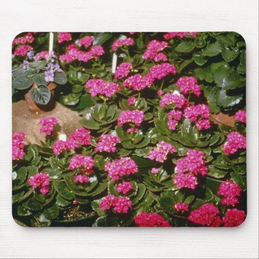 """Flores rosadas de Kalanchoe """"Solferinopurpur"""" Alfombrilla De Ratones"""