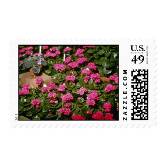 "Flores rosadas de Kalanchoe ""Solferinopurpur"" Sello"