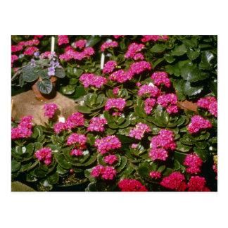 "Flores rosadas de Kalanchoe ""Solferinopurpur"" Postales"